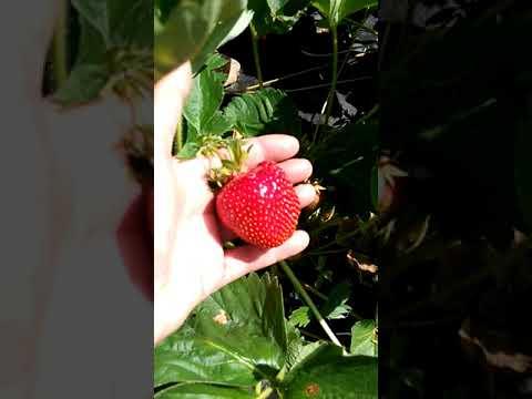 Обзор сорта клубники Маделайн (Мадлен) - выращивание урожайной клубники