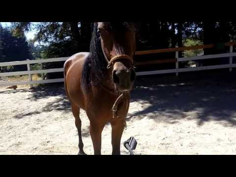 video:Lunging a Horse with No line, no round pen just body language