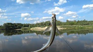 Фидер на Живца и Белую. Рыбалка летом в жару