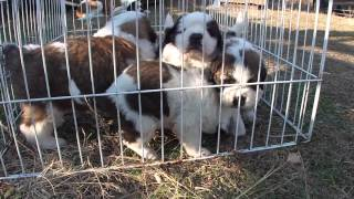 子犬が生まれていますよ http://www.woof.jp/sb.html 2015年12月11日生...