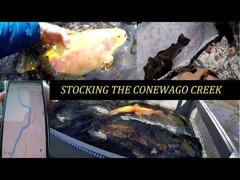 Stocking The Conewago Creek In Adams County, Big Trout