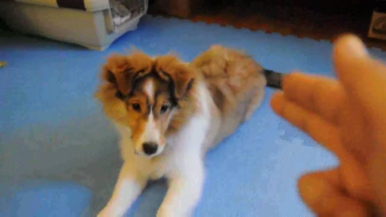 Yumi S Tricks 4 Month Old Sheltie Puppy Youtube