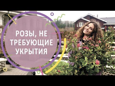 #РОЗЫ | Розы, зимующие в Подмосковье без укрытия