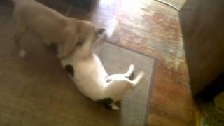 Shar Pei - Boxer Vs Bulldog Francés