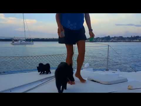 Sailing Schipperke puppies - what to expect during their 7th week