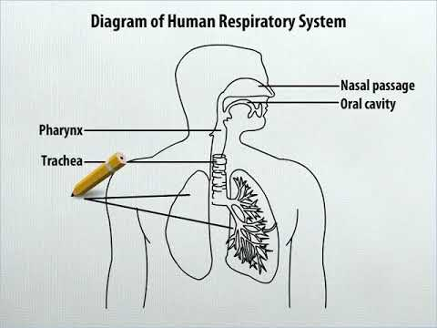 How To Draw Diagram Of Human Respiratory System Youtube
