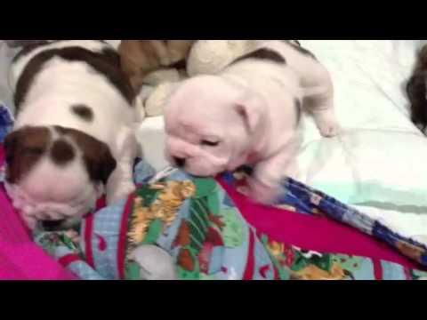 Baby English Bulldog Wants To Play!