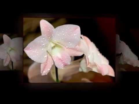 Любка двулистная – дикорастущее клубневое растение