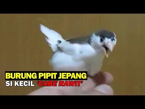Burung Pipit Jepang (Emprit Jepang), Si Kecil Cabe Rawit