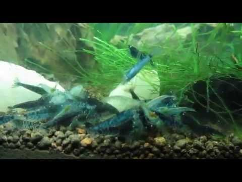 Blue Tiger Shrimp & Blue Pearl Shrimp
