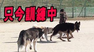 呼んで来いを訓練中のジャーマンシェパード犬マック君 呼び戻しの練習中...