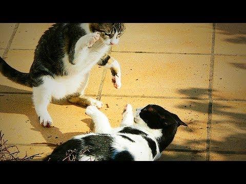 Bully Cats 😜🐱 Funny Cats (Full) [Funny Pets]