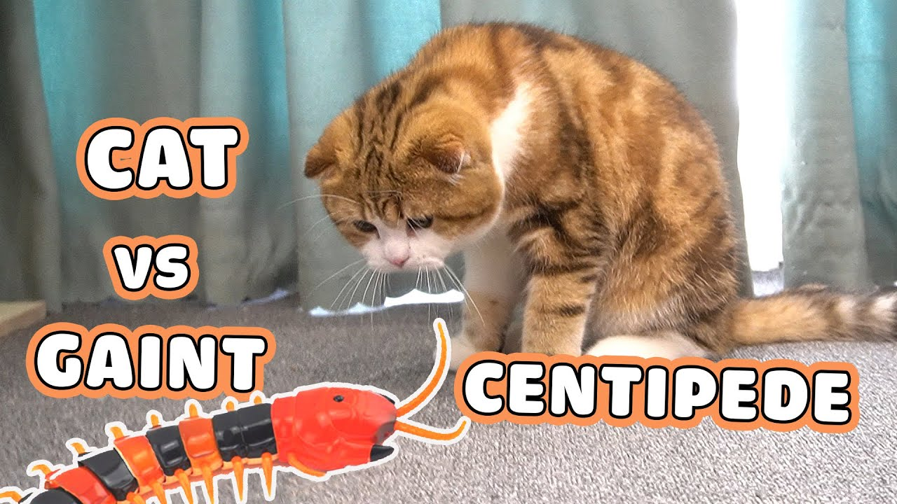 Cats play with remote control toy - A giant centipede | Polly, Elly & WaterMelon