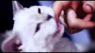 котенок селкирк рекс