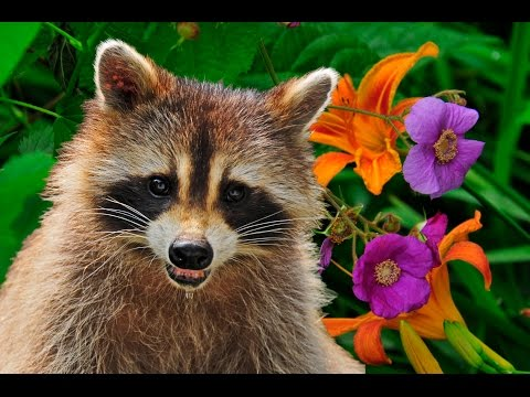 Four baby Skunks and Four baby Raccoons - YouTube