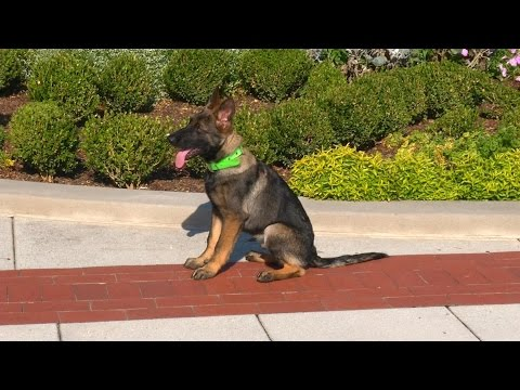 BEAUTIFUL Dark Sable German Shepherd 'Zach' 19 Wks Obedience Protection Trained Dog For Sale