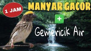 Download 1 Jam Masteran Suara Burung Manyar Gacor FULL Variasi MP3 Kualitas Jernih