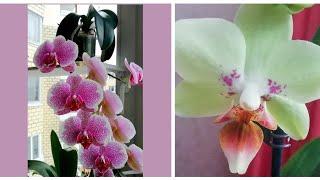 Орхидеи Домашнее ЦветениеПервое домашнее цветение моих фаленопсисов одонтоглоссума и дендробиумов