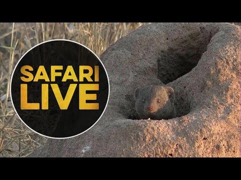 safariLIVE - Sunset Safari - June 18, 2018