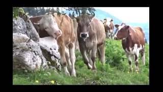 Les vaches Suisse