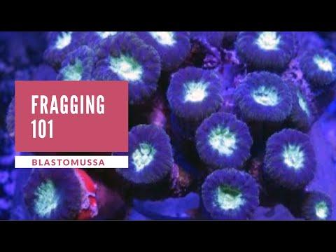 Blastomussa Fragging 101