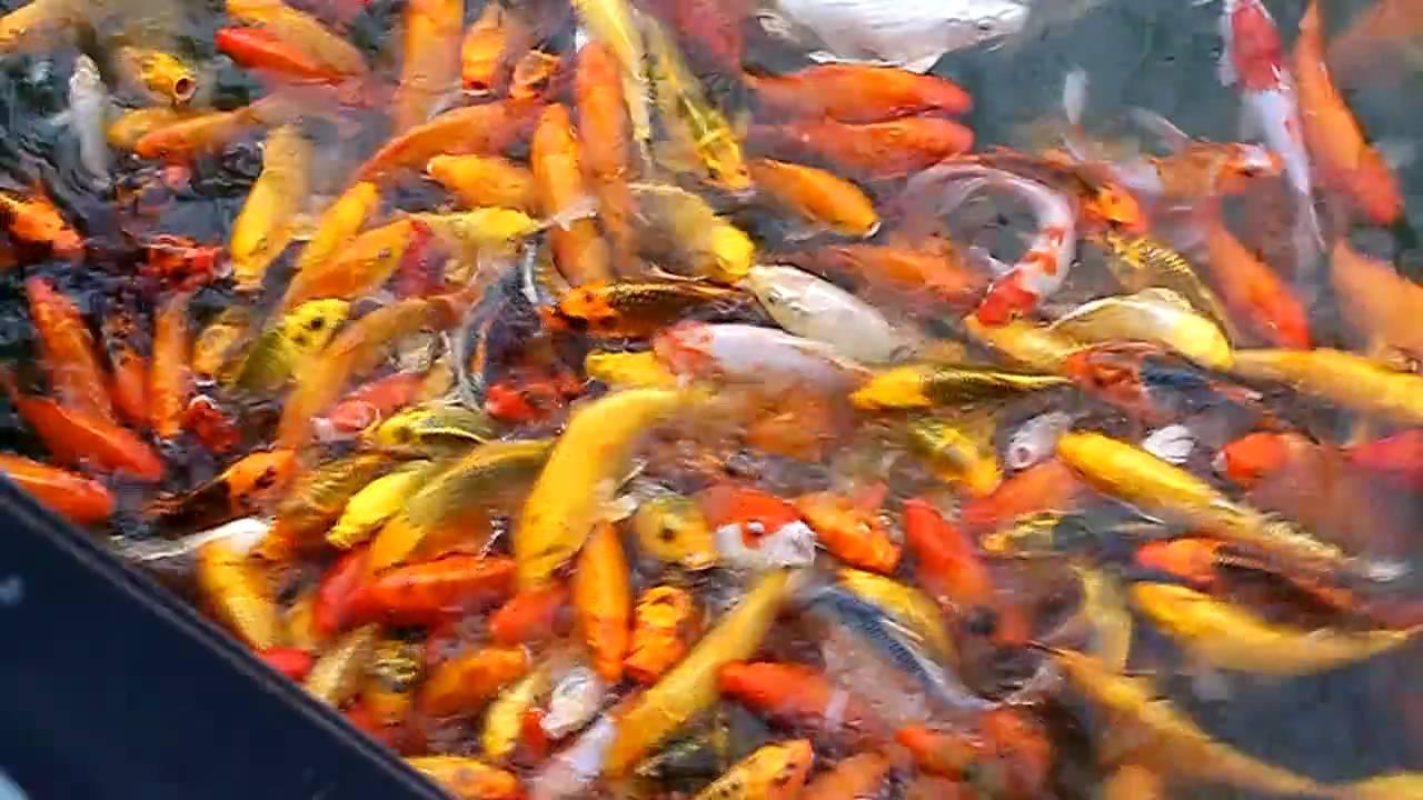 Feeding japanese koi fish nuvali sta rosa laguna youtube for Feeding koi fish
