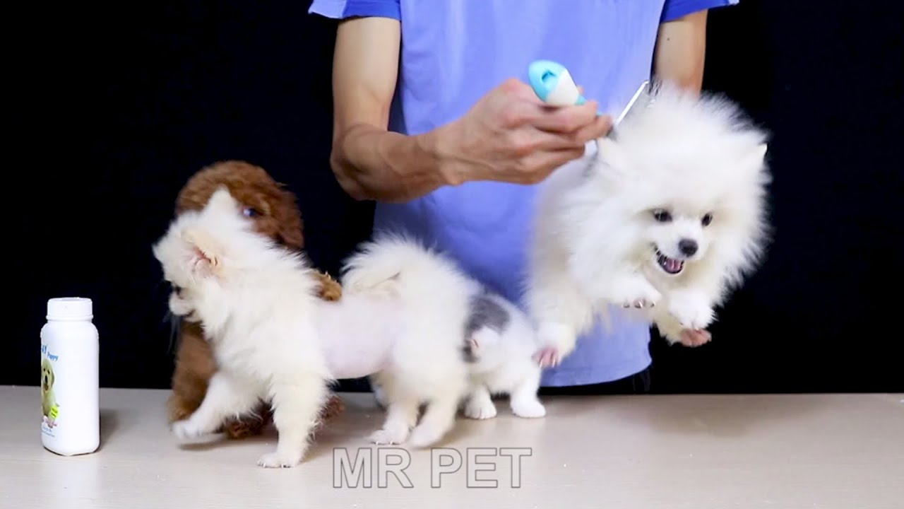 How To Dry Baths For Dogs Cats in Winter | Cute Pomeranian Poodle Munchkin | MR PET