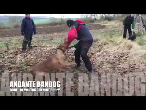 first-training-day-for-10-months-old-andante-bandog-males-(all-breed-by-andante-bandog-kennels)
