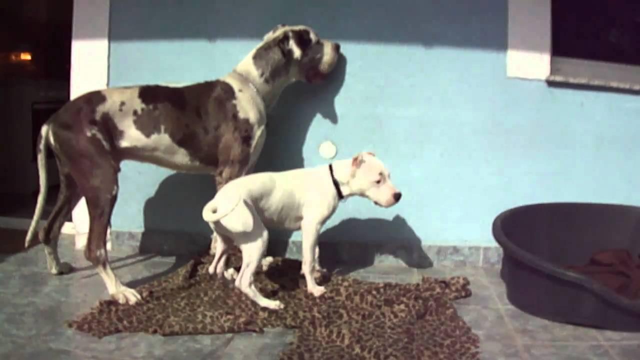 Great dane-Dogo argentino - YouTube