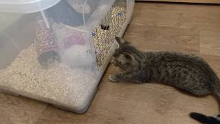 Кот VS Хомяк/ The reaction of the cat to the hamster...
