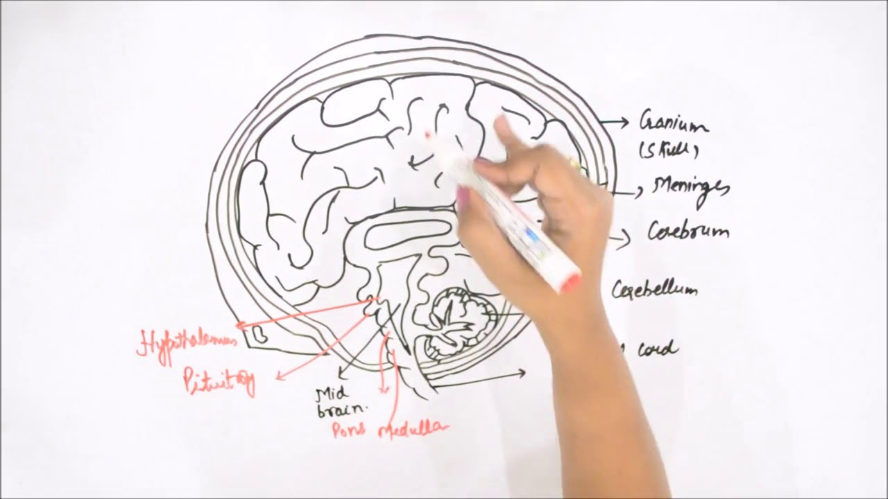 How to Draw Human Brain - YouTube