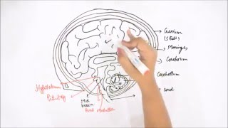 How to Draw Human Brain