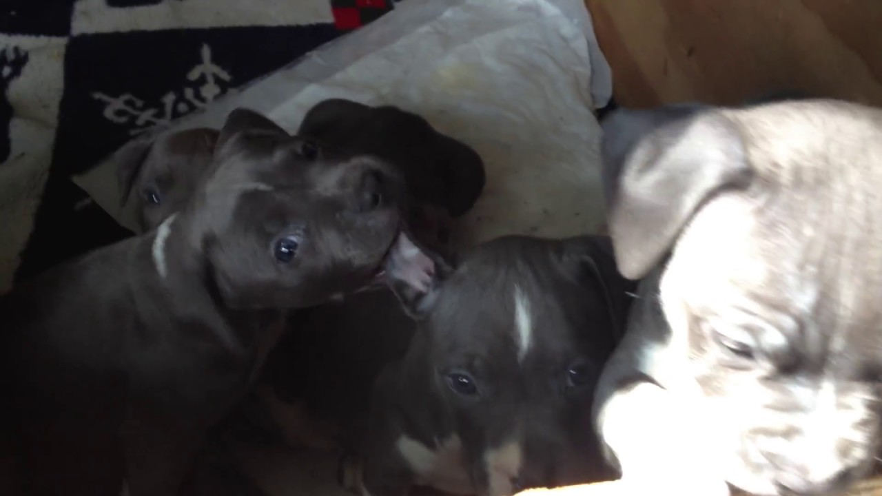 Pitbull Puppies For Sale In Virginia Beach