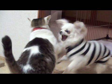【一番激しかった猫と犬のバトル!】Nora and Koo of Excite the battle. lol