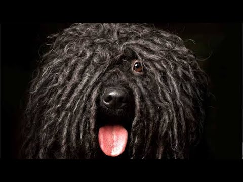 Amazing Facts on Puli Dog | In Hindi | Dog Facts | Animal Channel Hindi