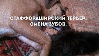 Стаффордширский терьер.  Щенок 5 месяцев смена зубов. Staffordshire terrier change of teeth.