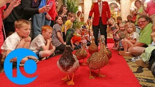 The March of the Peabody Ducks: A tradition 80 years in the making