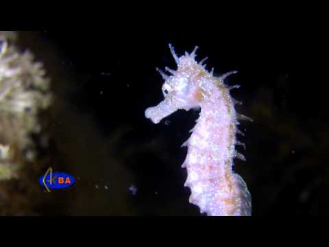 Рыбы Черного моря. Морской конек.