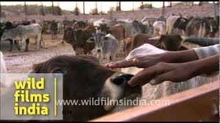 Herd of cows in a Dairy Farm in Rajasthan