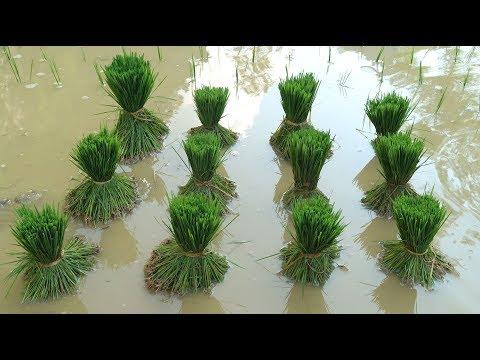 Primitive Skills: How to grow rice?