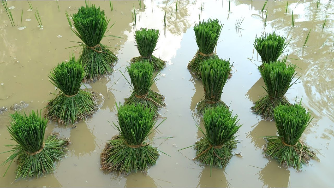 Primitive Skills: How to grow rice?