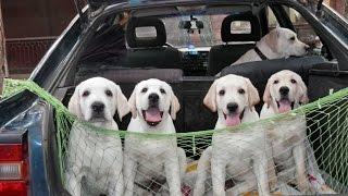 Порода собак - Лабрадор ретривер. Щенки 3,5 месяца.  Odessa.