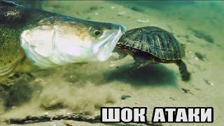 Рыбалка ЗРЕЛИЩНЫЕ АТАКИ Больших СУДАКОВ на Черепаху Человека Рака Рыбу Подводная съёмка