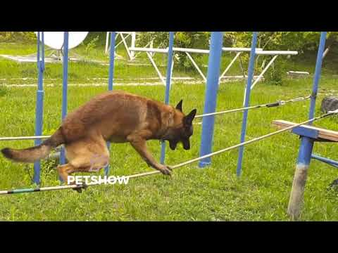 Belgian Malinois Lachi is a Moldovan border police dog with extraordinary training