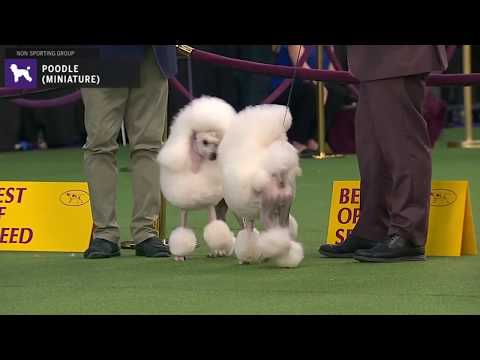 Poodles Miniature | Breed Judging 2020