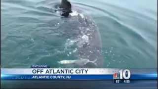 Massive Great white shark circles boat off Atlantic City NJ - June 2013