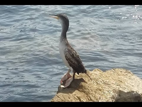 The European shag  C0029