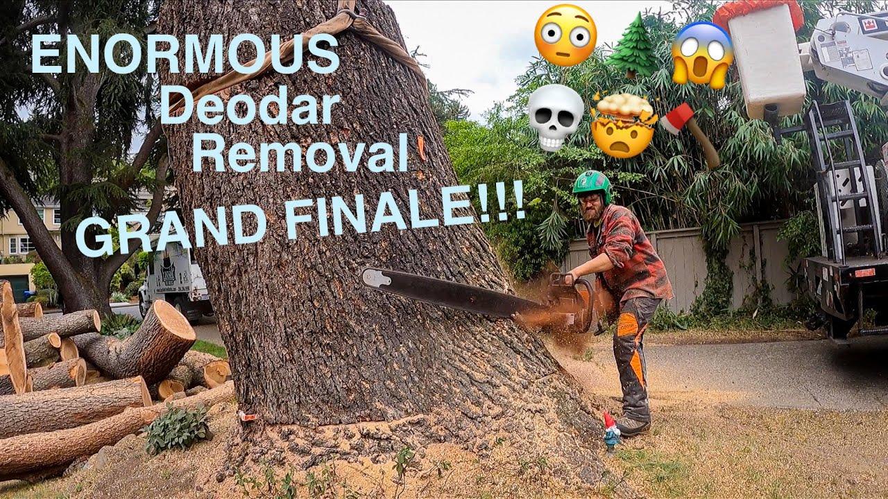 ENORMOUS Deodar Removal GRAND FINALE!!!