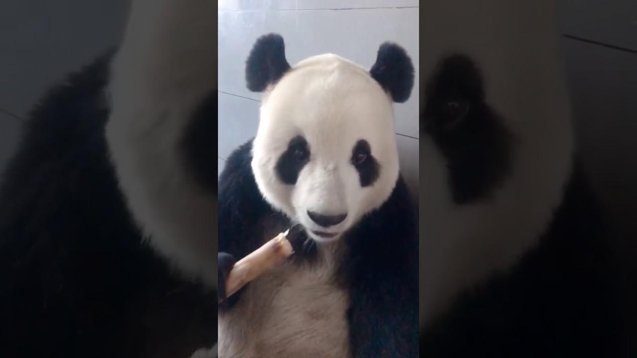 .吃货大熊猫吃相还不错  Panda eats in a leisure manner