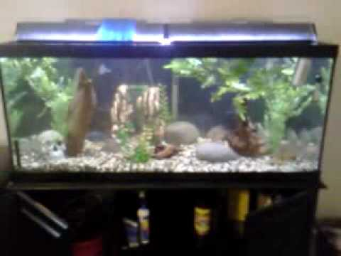 Red belly piranhas african cichlid fish tank youtube for Piranha fish tank